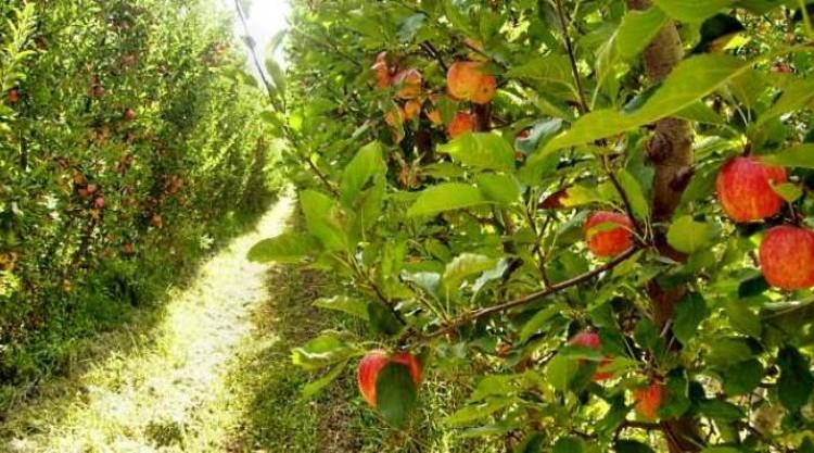 Archivo-Producción-frutas-en-Centenario-Manzanas2-800x417