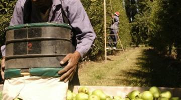 i7382-peras-cosecha-frutas-trabajador-pea-sup3-n