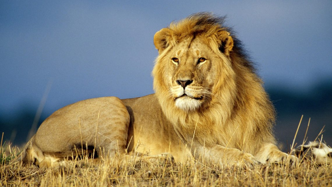 Lion Looking Into the Distance